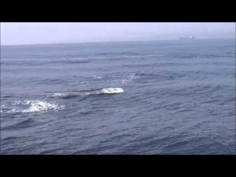 Pilot whales chasing the orcas in the Strait of Gibraltar by