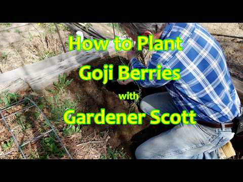 How To Plant Goji Berries Youtube