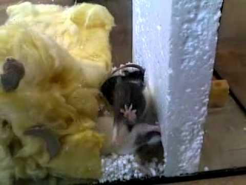 видео: Крыски.mp4
