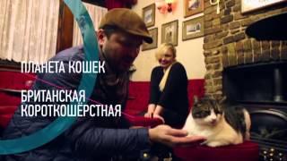 «Планета кошек», Британская короткошерстная