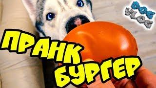 РОЗЫГРЫШ НАД СОБАКАМИ ПРАНК БУРГЕР SWEET PUPS макарун (Хаски Бандит) Говорящая собака