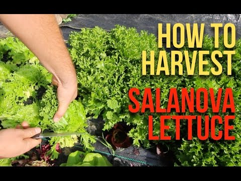 HOW TO Harvest Salanova
