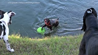 Funny Great Danes and Pointer Dog Playing and Swimming with Jolly Ball
