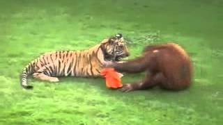 Orangutan vs tygrys