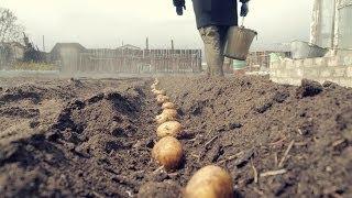 видео Посадка картофеля под солому: огород без хлопот