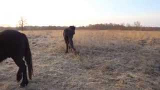 Енотовидная собака нападает на лощадь