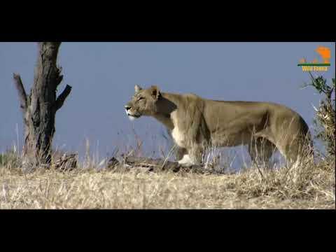 Лев противостояние хищных кланов, битва прайда за трриторию,животные кто сильнее