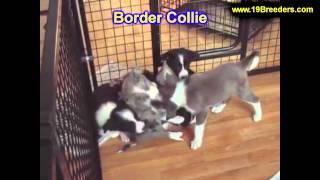 Border Collie, Chiots, Pour, Vente, En, Alberta, Canada, Provinces, La Colombie Britannique, Manitob