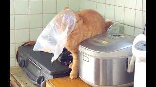 ビニール袋に顔を突っ込んだら頭が抜けなくなった猫 thumbnail