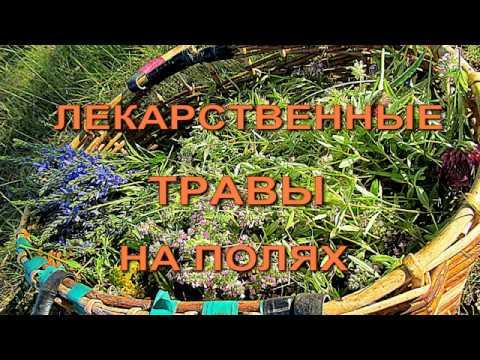 Лекарственные  травы на полях. Phytotherapy