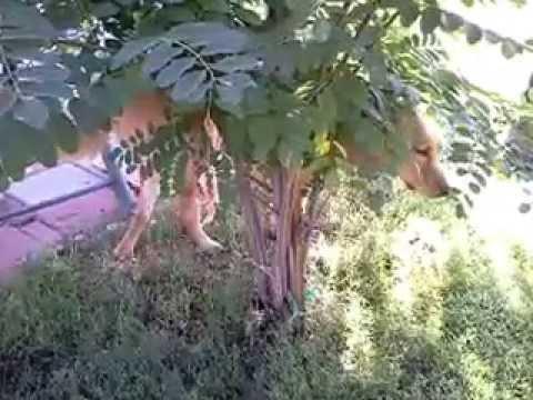 SUPER SLOW WALK:Dog walking slowly around tree