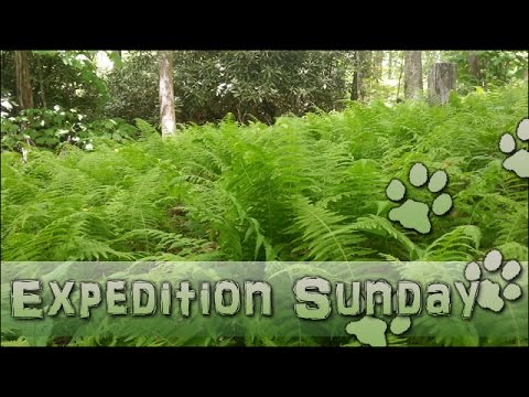 Walk Through the Fern Forest! [ Expedition Sunday ]