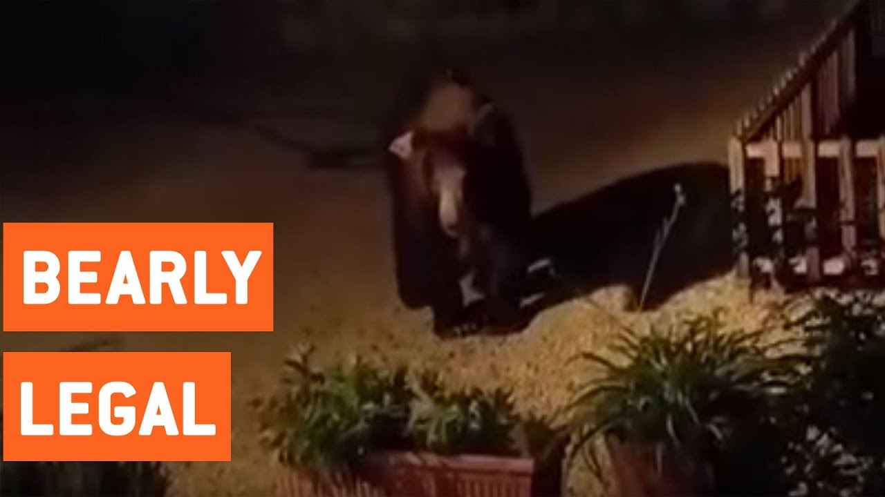bear in backyard of los angeles home youtube