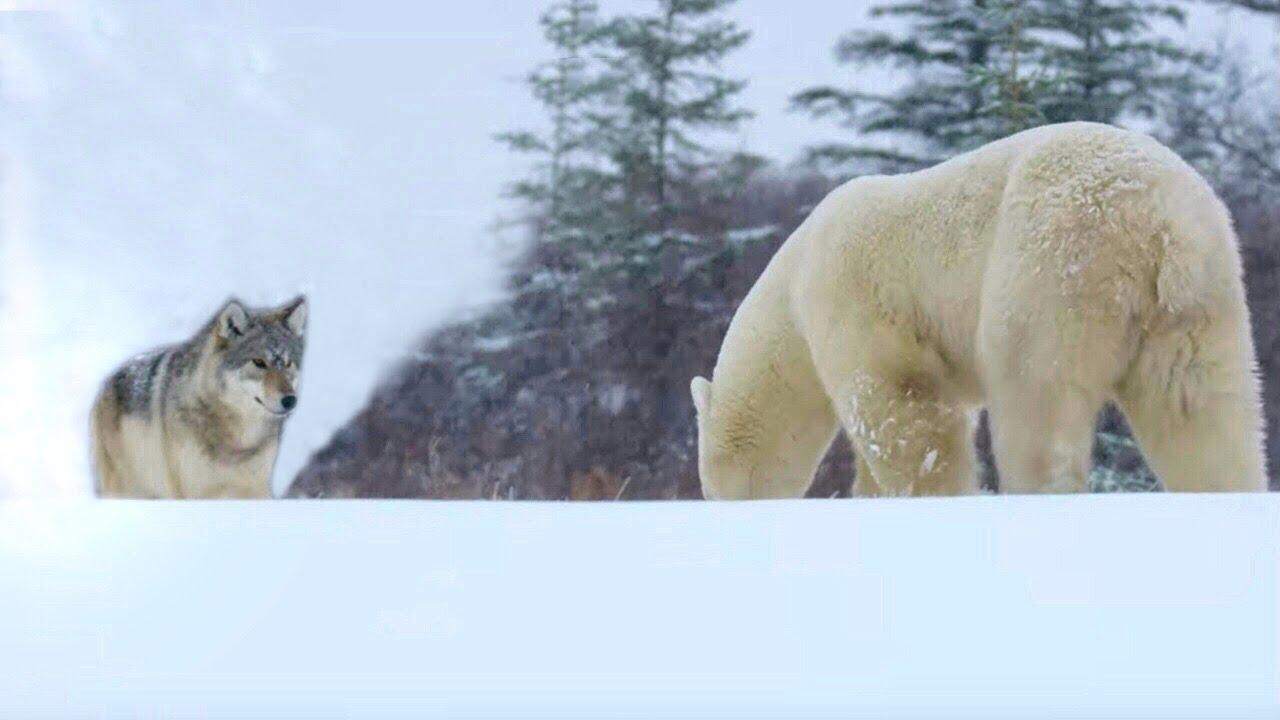 Волк в Деле! Встреча с Огромным Полярным Медведем... - скачать с YouTube бесплатно
