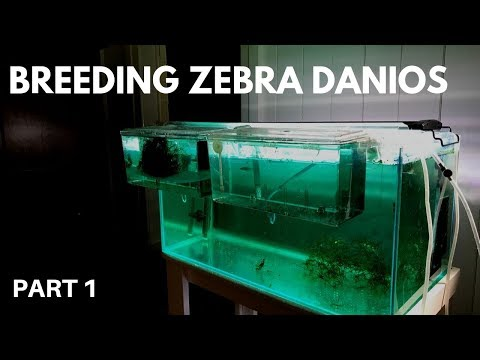 How To Breed Zebra Danios: Getting The Eggs (Part 1)