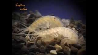 © Находка новой для науки Amphipoda в одесских катакомбах // Find new science Amphipoda in catacombs