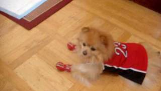 "Pomeranian "" Bello"" Walking With Shoes"