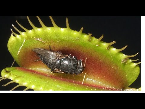 Les plantes carnivores youtube for Les plantes