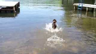 Gsp - German Shorthaired Pointer Swimming And Retrieving