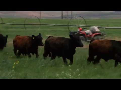 Gate to Plate: Introducing the Timberline Lodge Proprietary and Sustainable Beef Program
