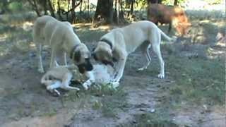Turkish Boz Livestock Guardian Dogs Playing