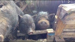 Свинокозозачистка и спасение от потопа