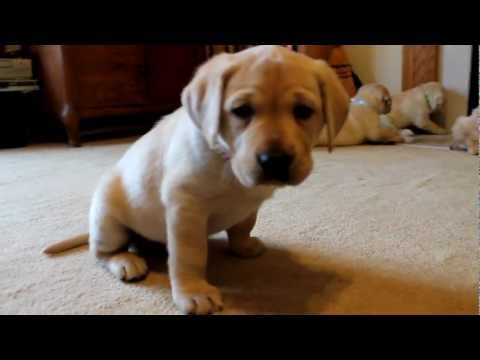 Lab Puppies Are Absolutely Adorable