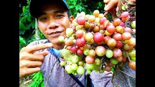 Phát Hiện Chùm Nho Qúy Hiếm Nhất Thế Giới | lên rừng tìm mít rừng|grapefruit