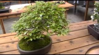 Кухарчук Вячеслав. Карликовые деревья.(Я снял карликовые деревья ( Бонзай) в ботаническом саду Бруклина., 2013-07-02T18:39:14.000Z)