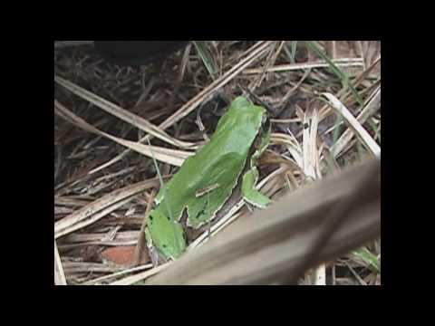 European tree frog also Hyla arborea