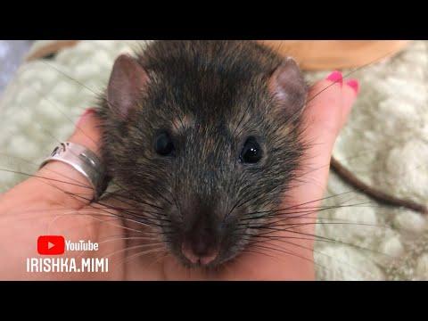 Крыса дамбо ��