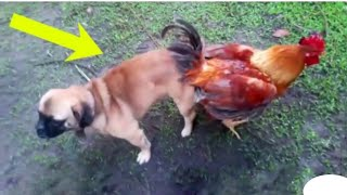 Oh No - Try  Not To Laugh _ Funny Video Dog vs Hen