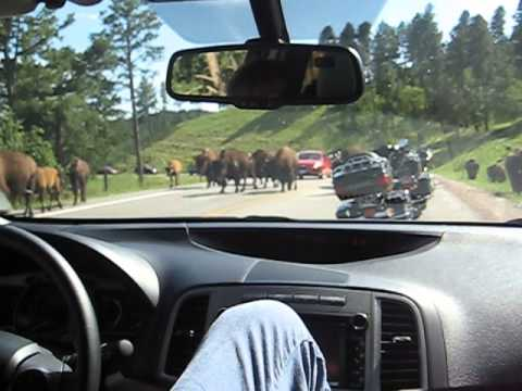 The South Dakota Buffalo Experience