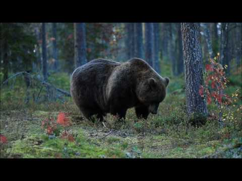 Amazing Animal Video Compilation - Adorable Brown Bear in 4K