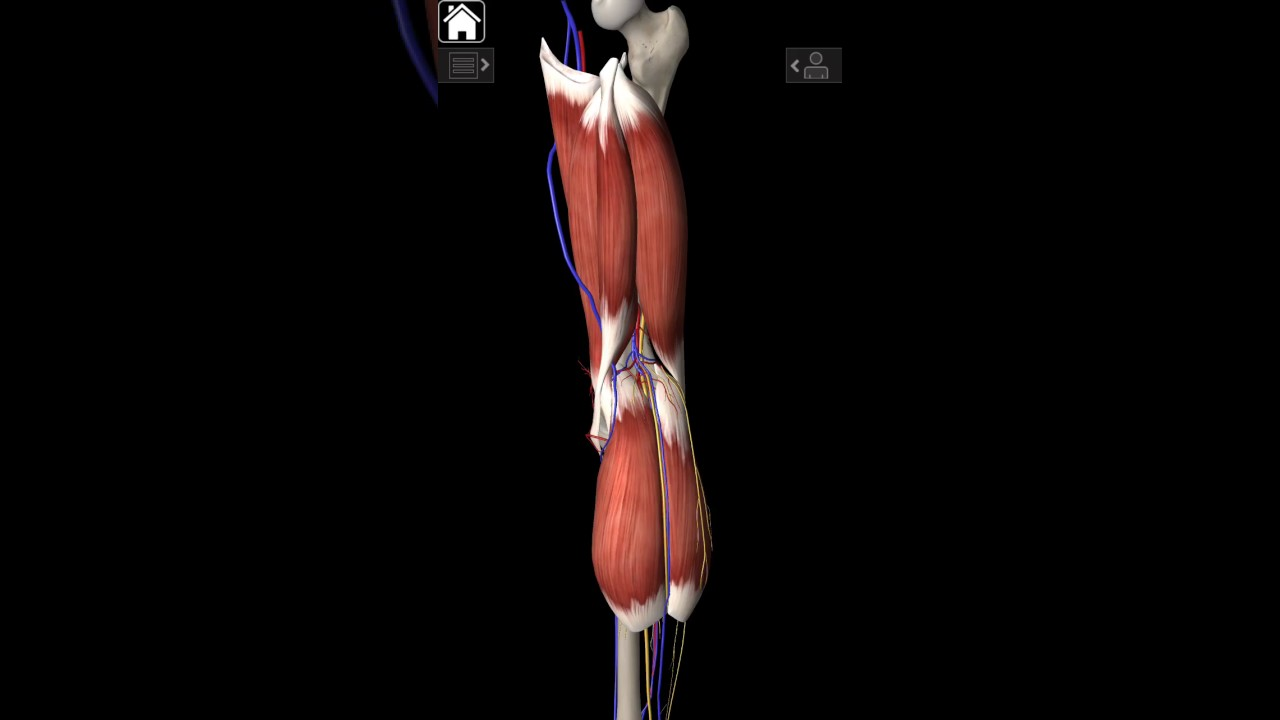 Popliteal artery course and relations (KLM 7TH EDITION) - YouTube