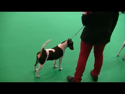 Smooth Fox Terrier in Crufts 2017