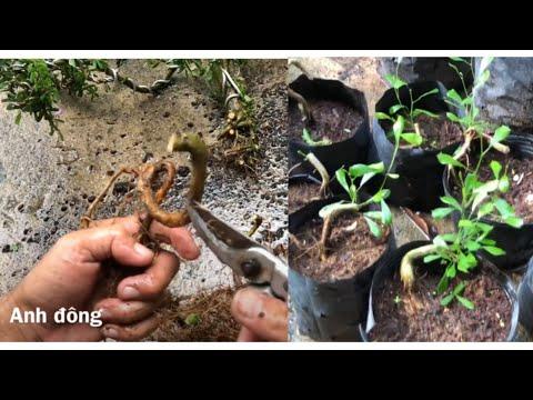 Cách trồng cây linh sam từ rễ