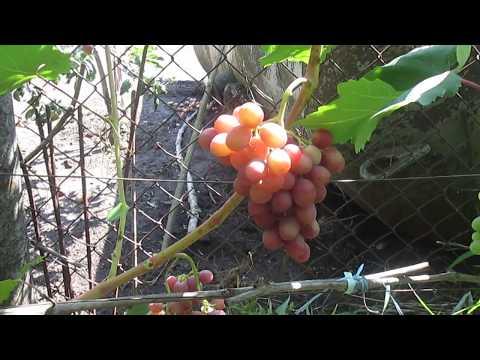 Сорт винограда : Гурман ранний