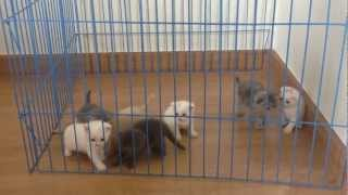 Baanfold Scottish Fold Kitten For Sale