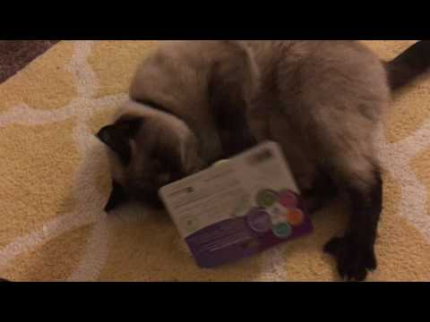 Max the Siamese Cat and His New Toys!