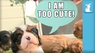 Sweet Cavalier Puppies Talk Using Speech Bubbles - Puppy Love