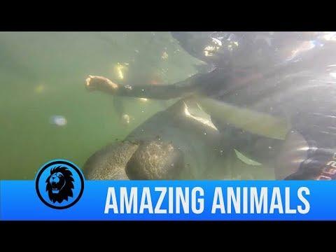 Florida Front Row - Manatee Seen Hugging Florida Snorkeler