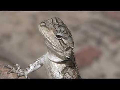 Wild Encounters - Jacky Dragon - YouTube Full Grown Bearded Dragon Next To A Ruler