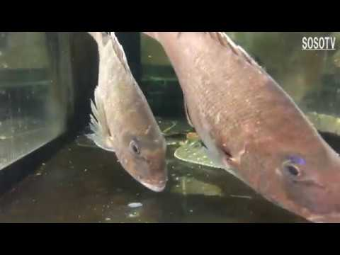 Japanese CuisineーLive Fish Red Snapper   SASHIMI Tokyo Japan