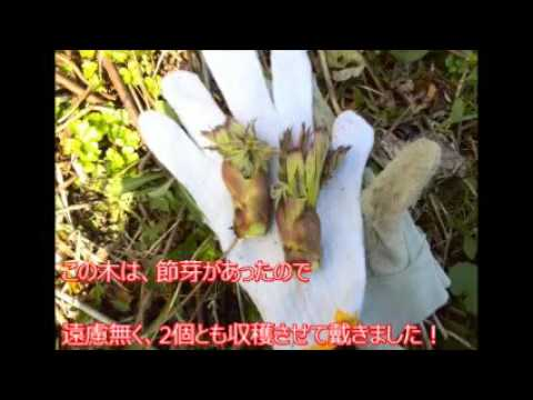 2016山菜・第2弾☆北海道タラの芽(道央・山菜採り)