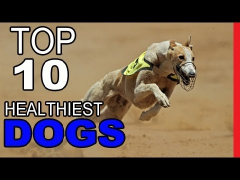 Top 10 Healthiest Dog Breeds - Video Dogs Breeds - Best Dog Breed Compilation