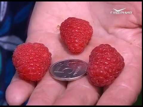 Какая малина самая вкусная? Удачные заметки | садоводам | лайфхаки | дачникам | советы | малина | дачные | дача