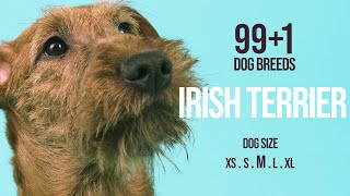 Irish Terrier / 99+1 Dog Breeds