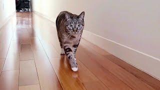 Lynx Point Siamese Tabby Snowshoe Cat Life