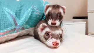 💗Adorable - Ferret Cute and Funny Animals Compilation 2019 💗 | PawCute Animals
